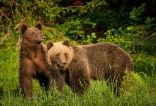 Observator de urși în Ținutul Secuiesc